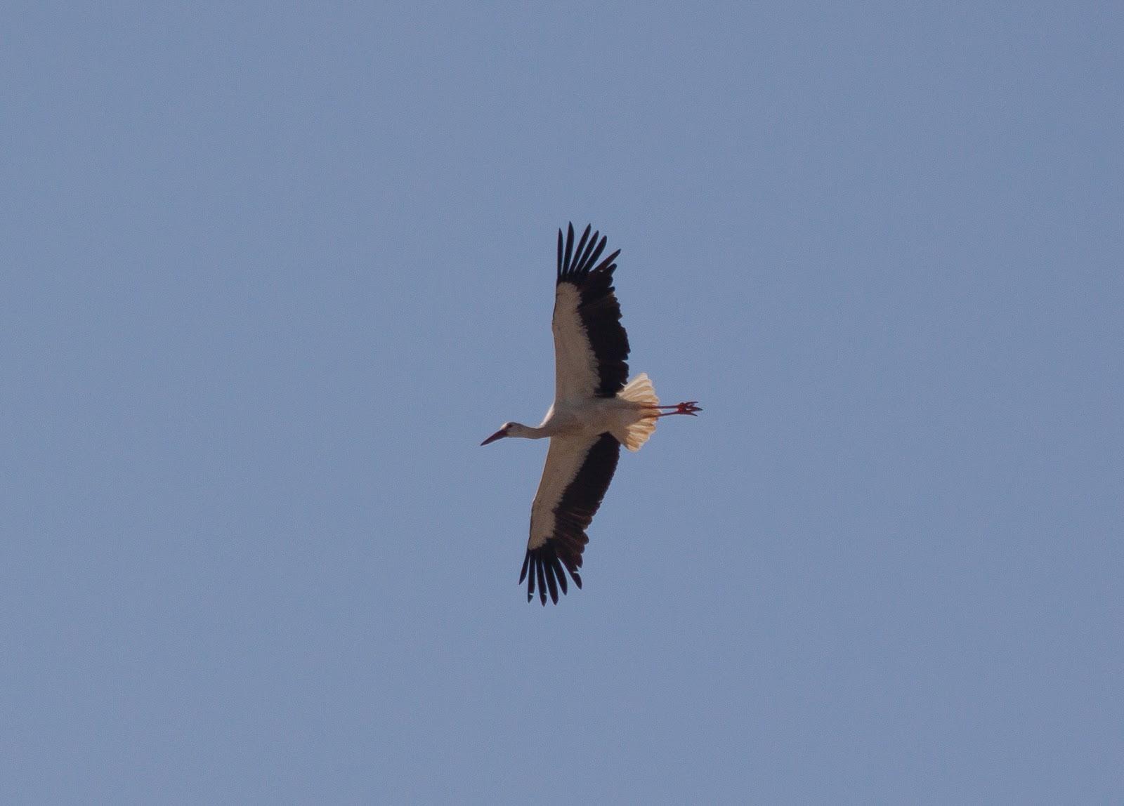 White Stork - Spain