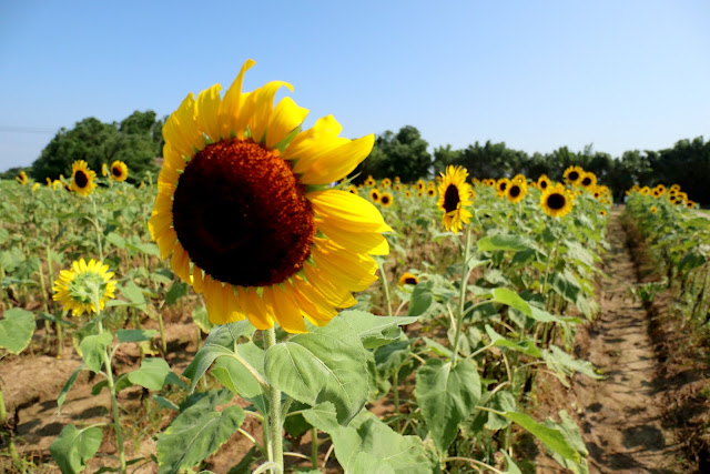 桃園觀音親子景點 向陽農場 向日葵