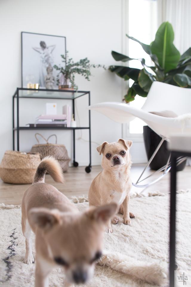 sisustus, olohuone, chihuahua, koirat