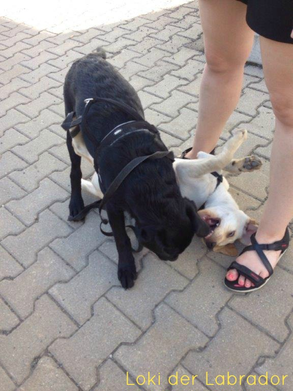 Labrador Welpen Loki und Lilly