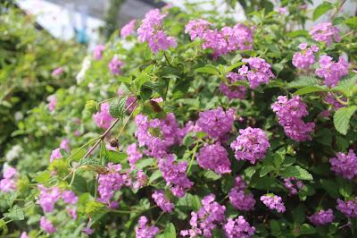 Rumah Bunga Neisha Lantana Gantung Cantiknya Bikin Jatuh Cinta