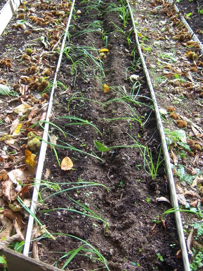 En este caso ponemos dos líneas de cebolleta a los lados y una de puerros en el centro. Añadimos también semillas de zanahoria como experimento, a ver si con este extraño Otoño recogemos zanahorias en unos meses.