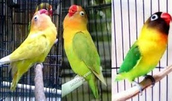 Kisaran Harga Terbaru Doping Konslet Untuk Burung Lovebird Saat Ini Paling Lengkap