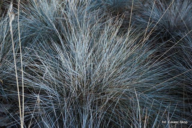 popielate i srebrne trawy