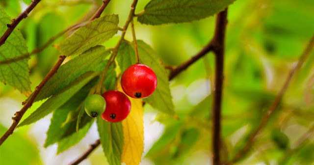 Kersen, ceri, talok, kresen, tanaman obat, herbal, herbal alami, tanaman herbal