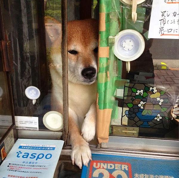 Gặp gỡ chú chó bán hàng dễ thương nhất Nhật Bản