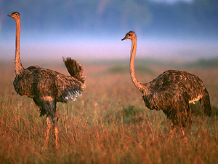 How do ostriches have erections?