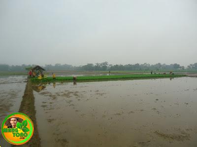 Pembenihan / pawinian padi ketan di Bakan Bandung