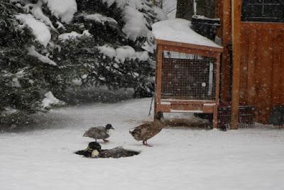 Worset winter chicken coops