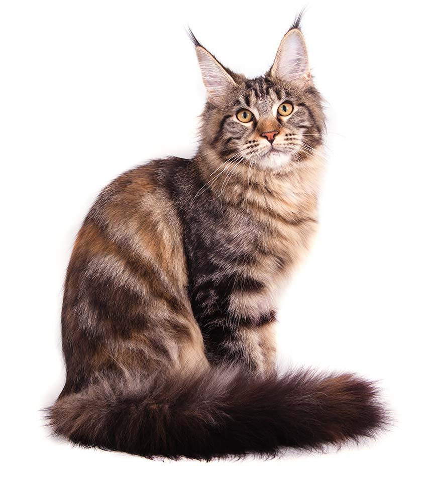 how many breeds of cats are there