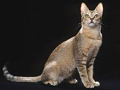 gambar kucing Sailan