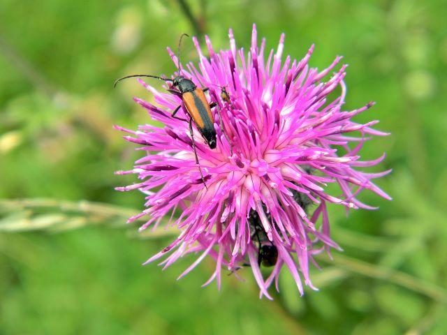 kwiat łąkowy, owad, roślina, różowy