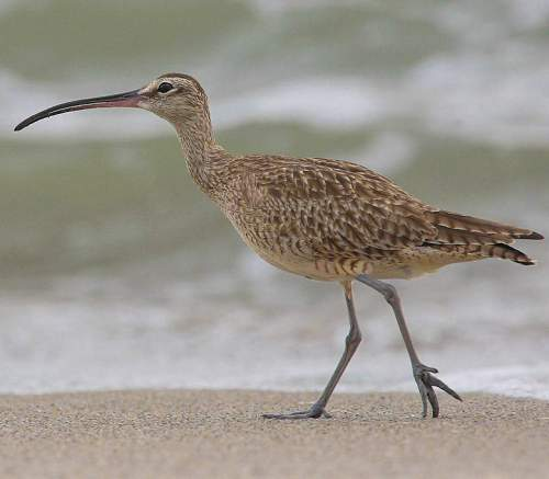 Indian birds - Image of Whimbrel - Numenius phaeopus