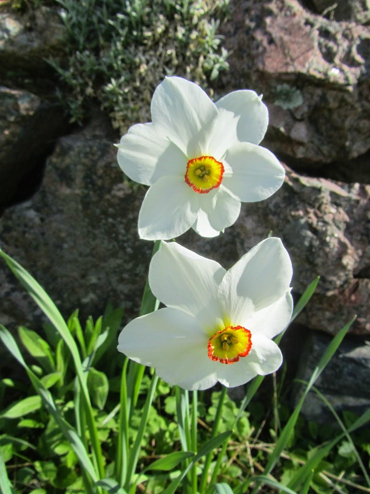 Kuvahaun tulos haulle pikkuinen puutarhani runoilijannarsissi