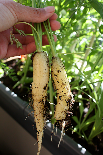 Harvesting white satin carrots