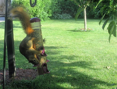 Squirrel getting all he can eat-Vickie's Kitchen and Garden