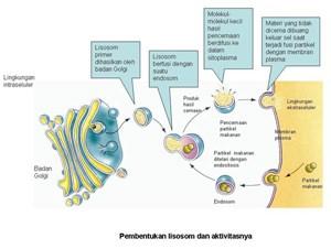 Pengertian lisosom merupakan suatu organel sel yang berupa kantong terikat membran dan be Pengertian Lisosom dan Fungsi Lisosom