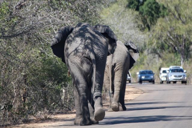 ¡Atención peligro! Paquidermo de alto tonelaje en la carretera