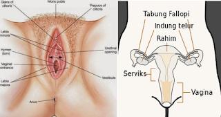 Bagian Organ Alat Reproduksi Wanita & Fungsinya
