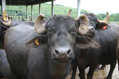 Short essay on buffalo