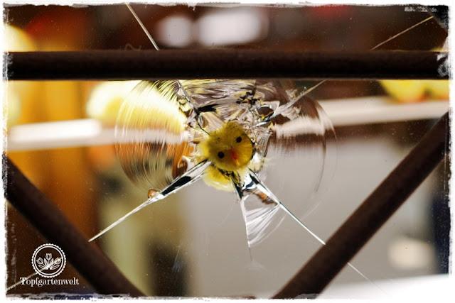 Gartenblog Topfgartenwelt Stuttgart: eingeschossene Glasscheibe in der Calwergasse ausgestopft mit einem Kücken