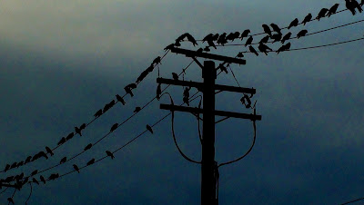 Dozens of crows perched along power transmission lines