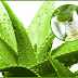 Aloe Vera uses in Hindi