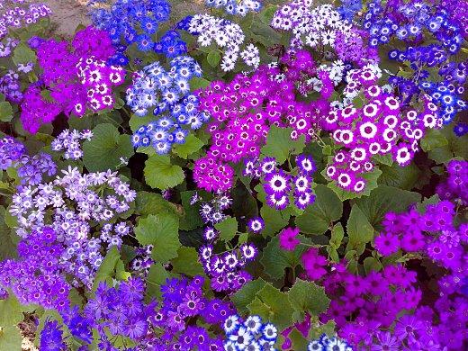 Purple pink blue flowers