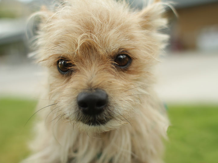 Gallery For > Border Terrier Poodle Mix