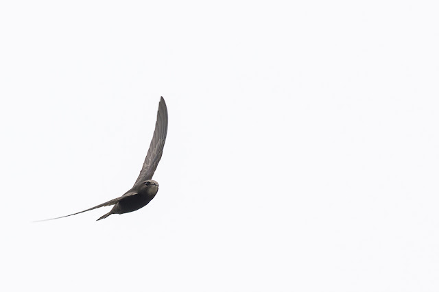 Common Swift in flight closest shot