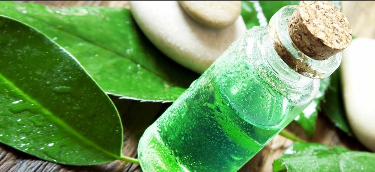 cara membuat minyak daun teh