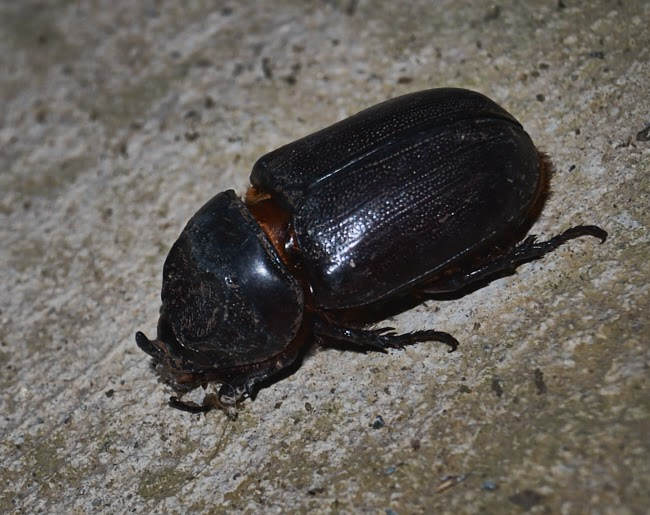 Rhino Beetle,porch,flash,photography