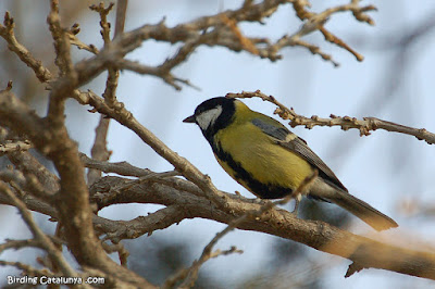 Mallerenga carbonera (Parus major)