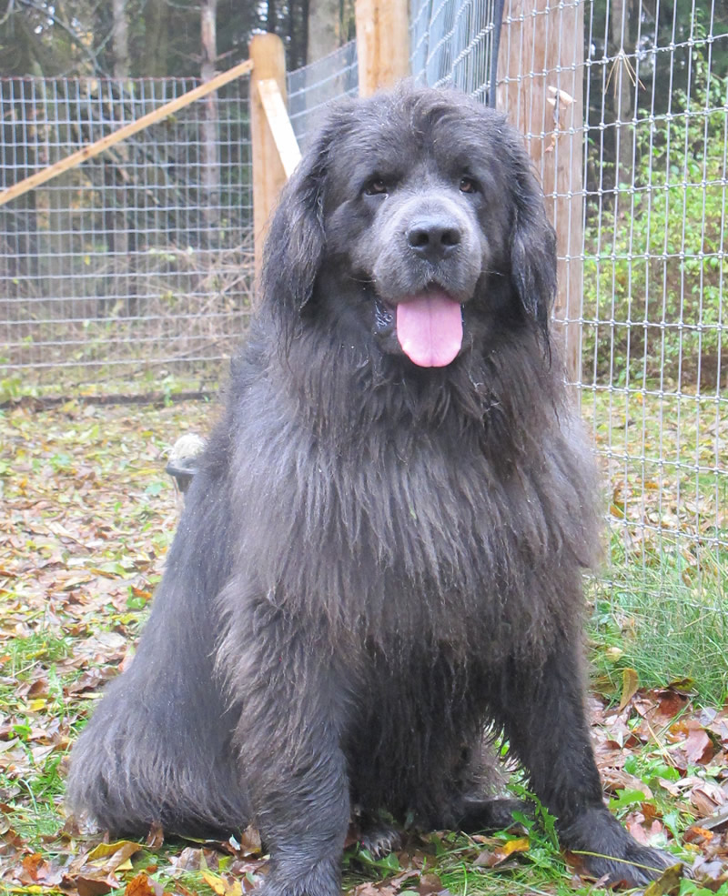 Silver Newfoundland Dog Pictures