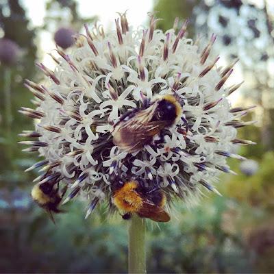 pallokasvi korkea sinipallo-ohdake mehiläisiä keräämässä