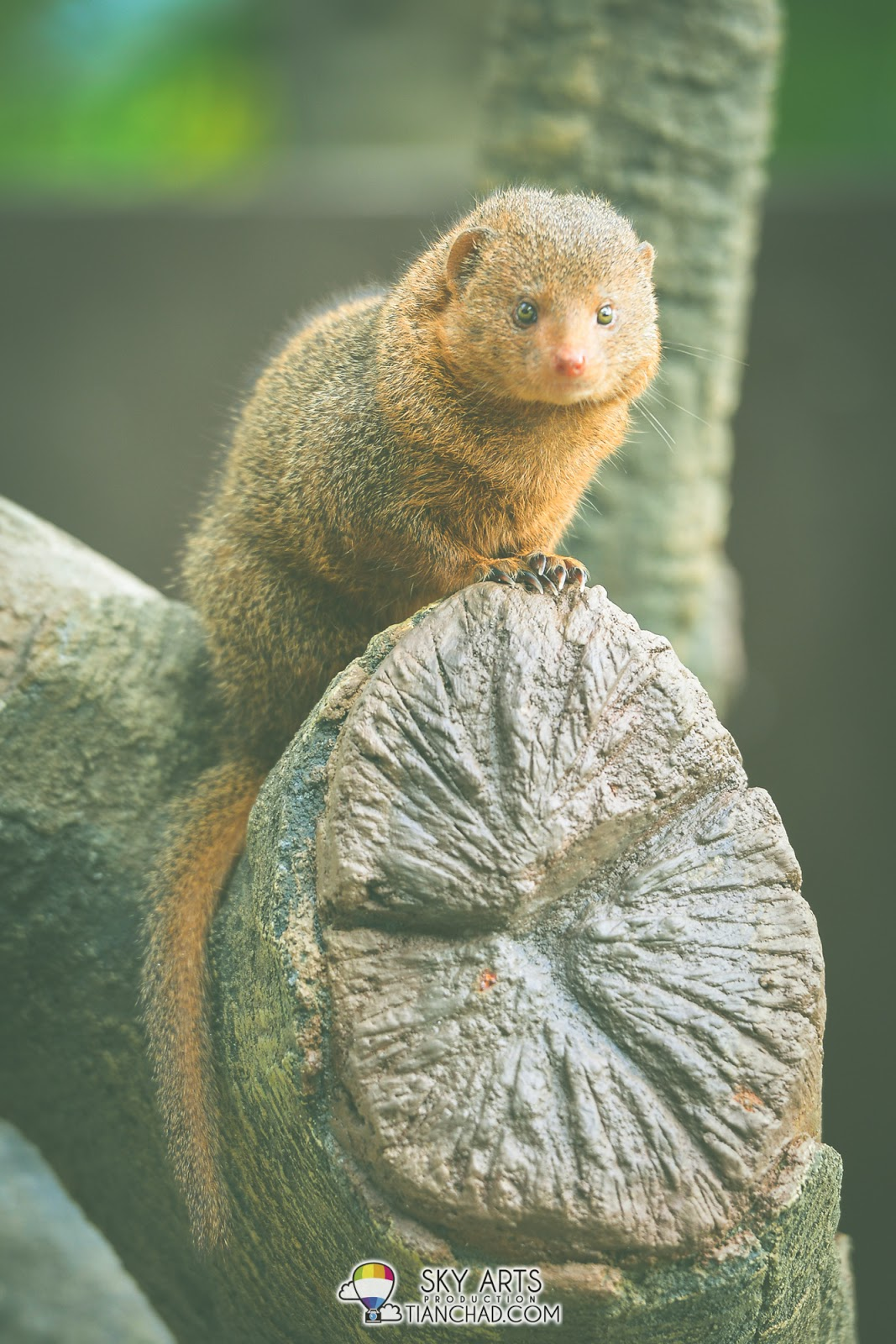 Common Dwarf Mongoose taking sunbath on a tree trunk
