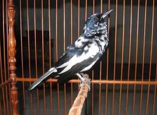 Jenis Burung Kacer Blorok
