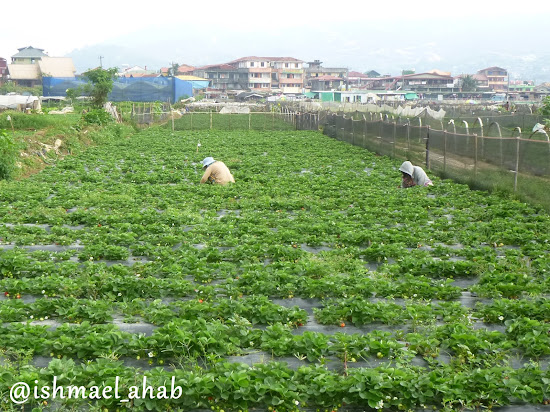 Farmers busy with their strawberries in Strawberry Farm in La Trinidad, Benguet
