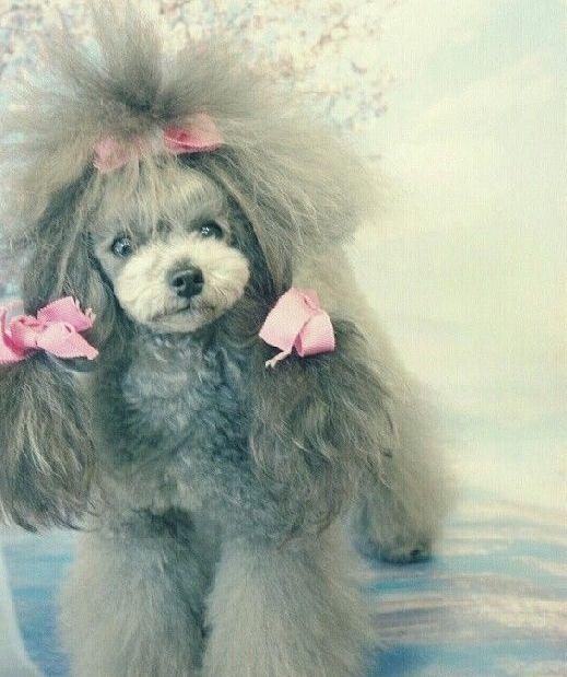 Fancy poodle with pink bows. Attraction is Breed Specific. marchmatron.com