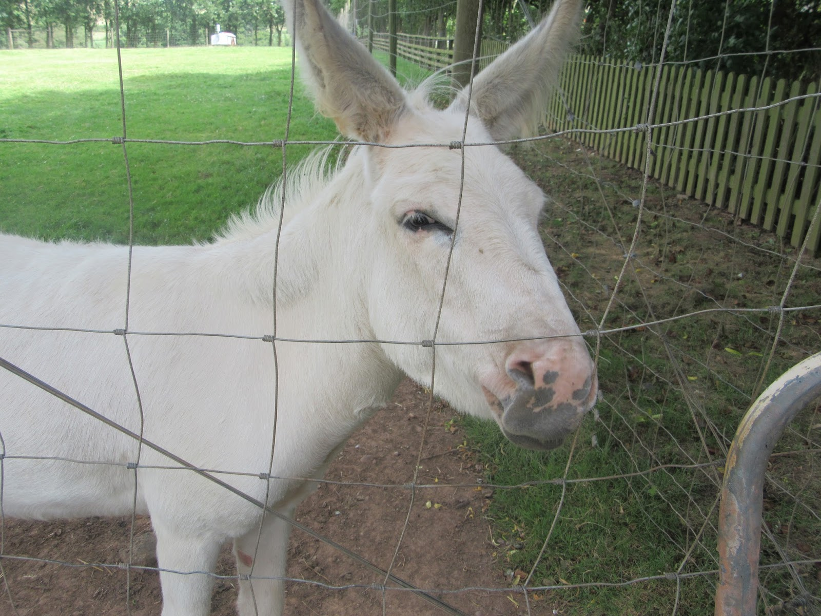 A majestic white donkey