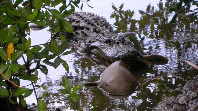 Alligator versus Shark