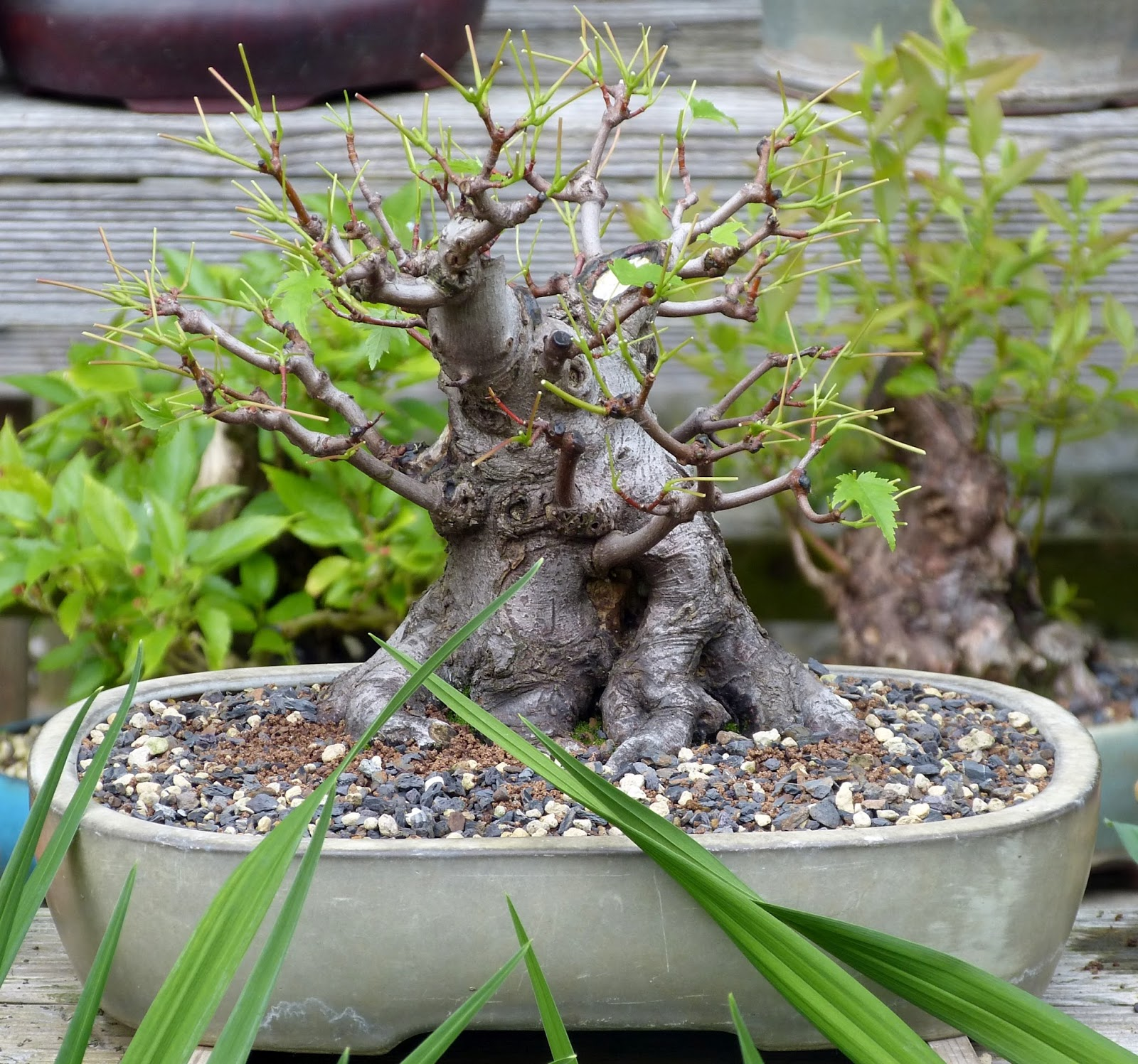 Holger39s Bonsai Blog After Defoliation Acer Rubrum