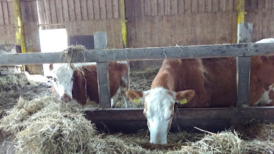 lehmä syö