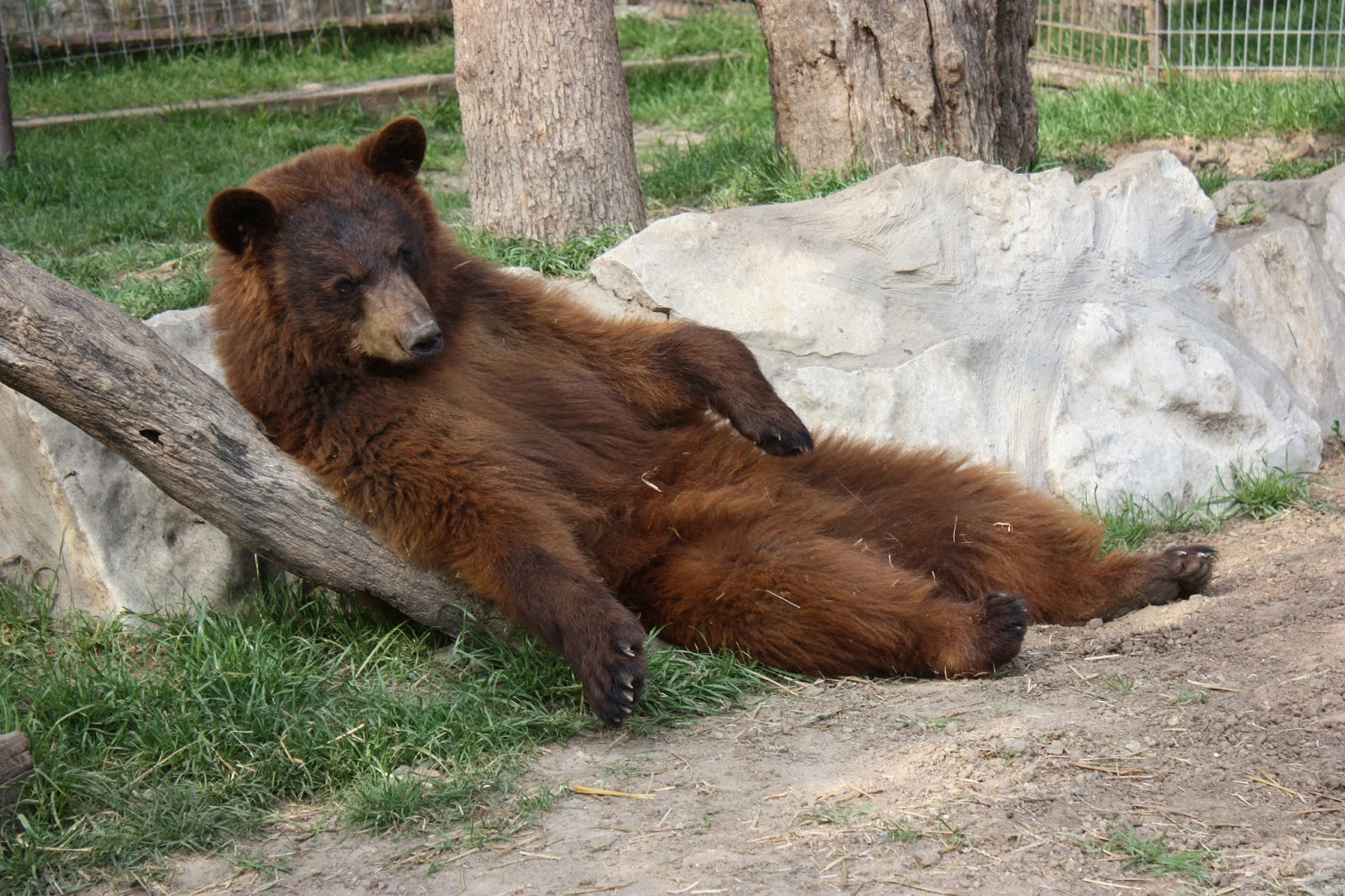 ieas news black bears vs brown bears what s the