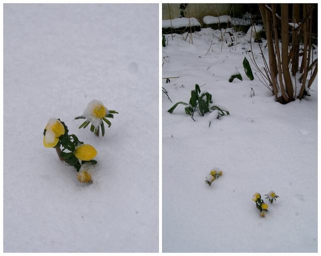 Winterlinge im verschneiten Märzgarten
