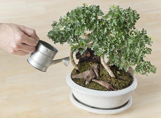 Cham soc bonsai mini, chăm sóc bonsai mini, bonsai mini đẹp, bonsai mini dep.