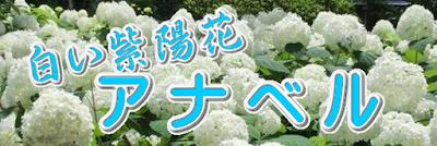 白い紫陽花アナベル