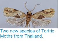http://sciencythoughts.blogspot.co.uk/2014/11/two-new-species-of-tortrix-moths-from.html