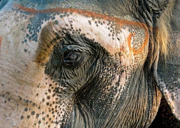Elefante con vitiligo