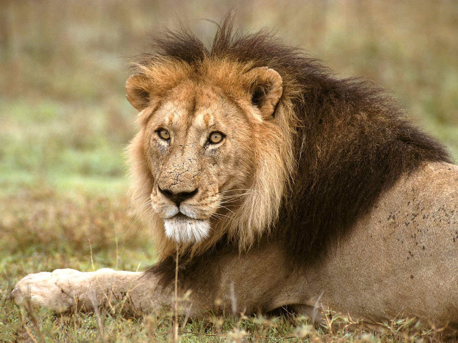 Wonderful   Wallpaper Horse Lion - The-best-top-desktop-lion-wallpapers-hd-lion-wallpaper-5  Photograph_429177.jpg
